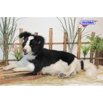 Border Collie Laying