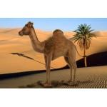 Camel Andromeda